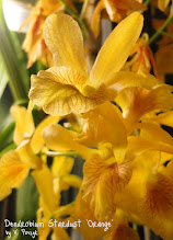 Photo: Dendrobium Stardust `orange`