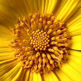 sun flower by Jerome Mojica - Instagram & Mobile Android ( sun flower, nature up close, yellow, buds, philippines, close up )