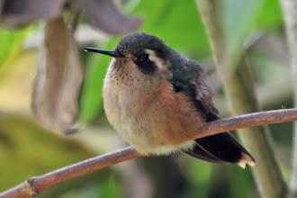 Photo: Speckled Hummingbird
