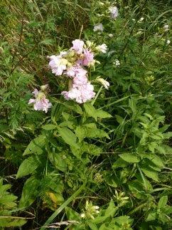 Mydlnica lekarska Flore Pleno Saponaria officinalis Flore Pleno