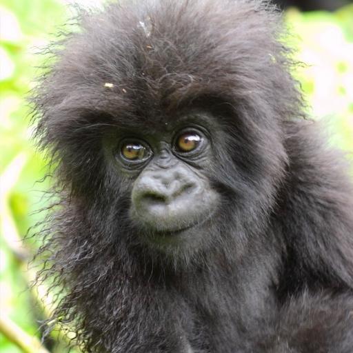monos y gorilas