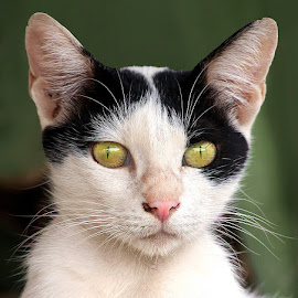Chusak by Abdul Rehman - Animals - Cats Portraits ( cat, green, beautiful, angry, eyes )