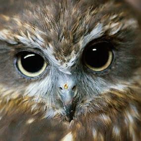 Owl's Eyes by Andy Nguyen - Animals Birds ( bird, owl, eyes )