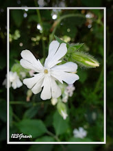Photo: Compagnon blanc, Silene latifolia subsp. alba