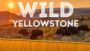 Wild Yellowstone thumbnail
