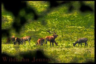 Photo: Rothirschrudel Hirsch Brunft Natur Wald