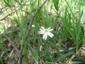 Photo: Gwiazdnica wielkokwiatowa (Stellaria holostea L.) – gatunek rośliny z rodziny goździkowatych