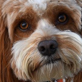by Steven Liffmann - Animals - Dogs Portraits (  )