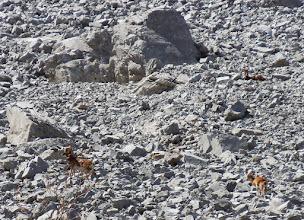 Photo: Mufloni sulla Morena