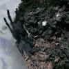 Philippines dwarf tarantula