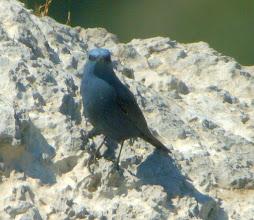 Photo: Monticola solitarius / Blue Rock Thrush / Passero solitario