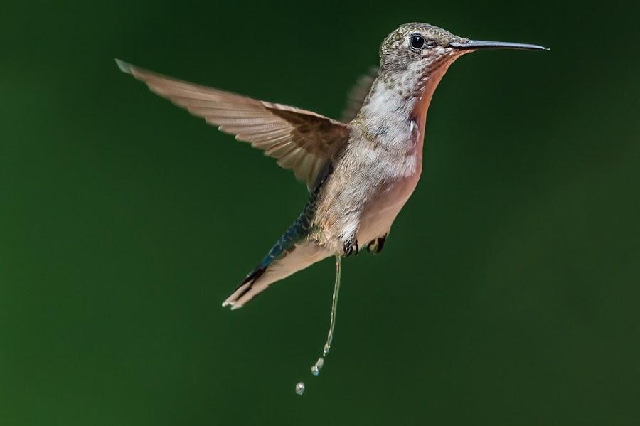 When you got to go by Mike Watts - Animals Birds ( bird, flying, going, hummingbird )