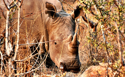 The rhino in the Mthetomusha game reserve have been ear-notched and were dehorned as part of anti-poaching efforts. The small horn has since grown back a little.