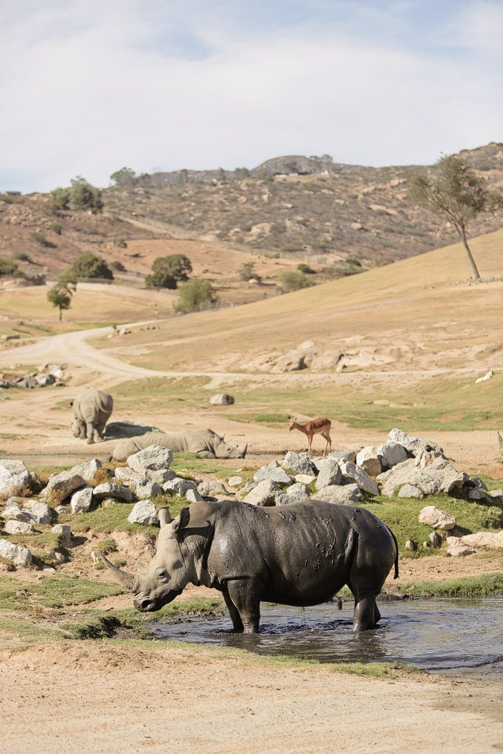 Rare Rhino Feeding at the San Diego Zoo Safari Park