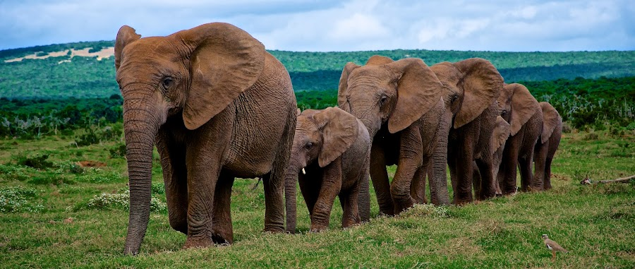 Addo Elephants by Retief Gerber - Animals Other Mammals ( raw )