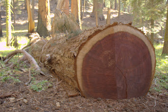 Photo: Sequoias have red wood
