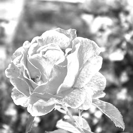 The White Rose by Joatan Berbel - Black & White Flowers & Plants ( flower photography, spain, granada, andalucia, flower up close, black and white, nature photography, flower )