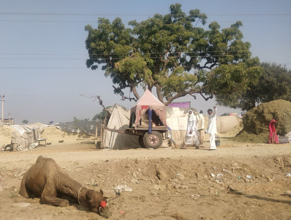 camel+resting in pushkar mela pushkar fair photos