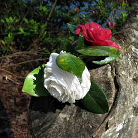 Red White and a hint of Blue. by Hal Gonzales - Flowers Flower Gardens ( arrangement, flowers, leaves, log, tree, water,  )