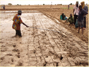 Photo: Timbuktu, Mali, West Africa. June 2008. Here a wooden marker (like a rake) is pulled across the field in both directions to create the spacing for transplanting the seedlings. The wooden marker works best in soils that have a uniform mud consistency.  [Photo by Erika Styger]