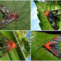 Wasp moths