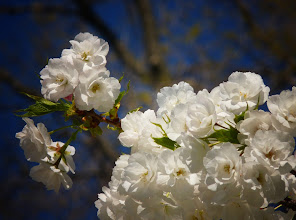 Photo: White Shirotae cherry blossoms in the sun.   Brooklyn Botanic Garden.   View the writing that accompanies this post here at this link on Google Plus:  https://plus.google.com/108527329601014444443/posts/NATfewHuaWC  View more New York City photography by Vivienne Gucwa here:  http://nythroughthelens.com/