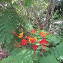 Dwarf Poinciana flowers