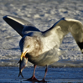 Bird Brain by Kathy Woods Booth - Animals Birds ( bird photography, wings, bird, eating, gull )