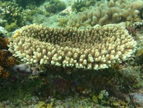 Photo: Acropora millepora, Siquijor Island, Philippines