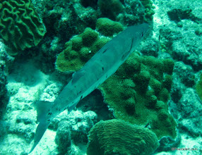 Photo: Barracuda...Dinner..., well, his cousin, perhaps?
