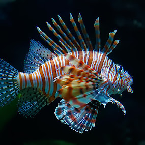 Lion Fish by Steve BB - Animals Fish ( marine, zebra fish, lion fish, scorpion fish )