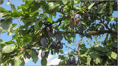 Photo: Prun (Prunus)  - de pe Str. Vrancei - 2017.08.24