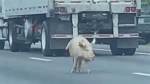 Lost pigs stop traffic on Virginia interstate, wild video ...