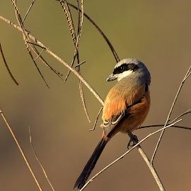 Long tailed shrike by Manoj Kulkarni - Animals Birds ( tailed, nature, bird, shrike, brown, branch, long, wildlife )