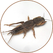 Mole cricket Sounds