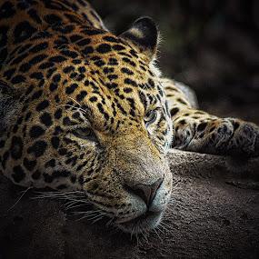 by Stephen Davis - Animals Lions, Tigers & Big Cats (  )