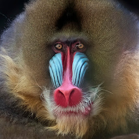 by Shelly Wetzel - Animals Other Mammals ( mandrill, primate, monkey, mammal )