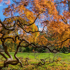 Japanese maple by Dale Youngkin - Nature Up Close Trees & Bushes ( fall leaves, maple tree, fall colors, fall, japanese maple )