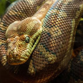 Snek by Daniel Wheeler - Animals Reptiles ( reptiles, snake, animals, texture, patter )