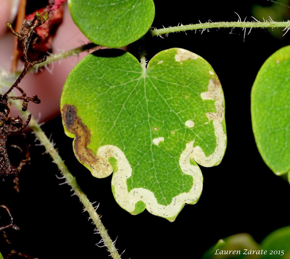 Leaf Miner