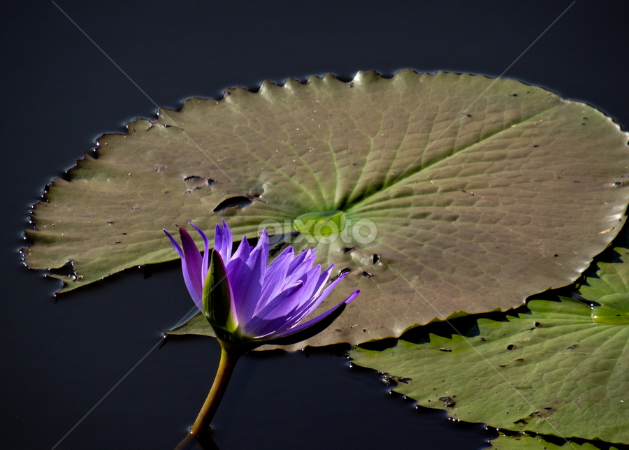 Life of black water by Tina Pettersson - Nature Up Close Flowers - 2011-2013 ( swaziland, blue water lily, blue, black water, africa, mbuluzi nature reserve )