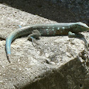 Laurent's Whiptail (male)