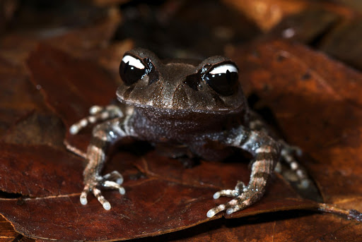 A visually stunning 'yin-yang' frog (Leptobrachium leucops), just one of five new amphibian species discovered in the region in 2011.