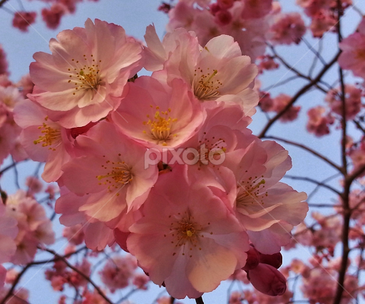 Light pink cherry blossoms tree blossoms flowers pixoto light pink cherry blossoms by matthew beziat flowers tree blossoms spring flowers anne mightylinksfo