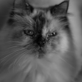 Mishka the Persian by Ruth Tomlinson - Animals - Cats Portraits ( princess, cat, gorgeous, black and white, persian,  )