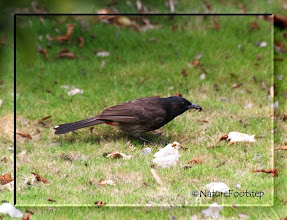 Photo: Red-vented Bulbul - Pycnonotus cafer  © NF Photo 131813, Honolulu http://nfbirdworld.blogspot.se/2014/03/red-vented-bulbul-pycnonotus-cafer.html