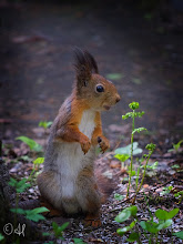 Photo: Red squirrel Slowly getting rid of the grey winter fur, but still sporting the ear tufts.  For #SquirrelSaturday curated by +SE Blackwell and +Skippy Sheeskin