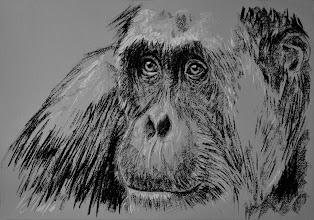 Photo: Orangután, pastel
