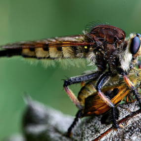 RobberyFly by Forest Wander - Animals Insects & Spiders ( nature, prey, insect, robberfly )