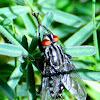 Flesh fly; Moscarda de la carne